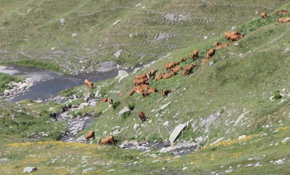 Vaches tarines