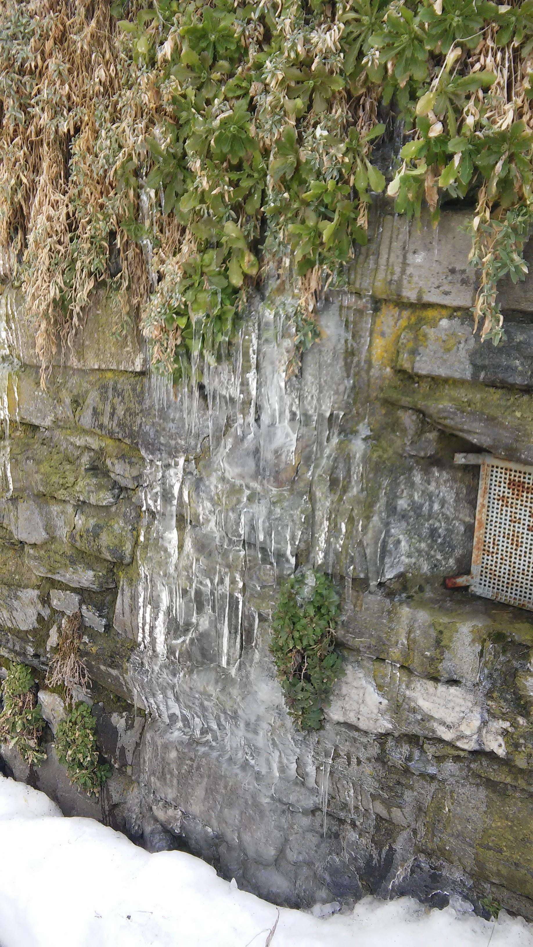Habillage glacé des joubarbes