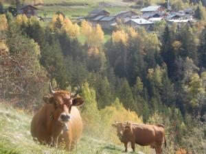 Vaches tarines - Gite Les Ecombelles