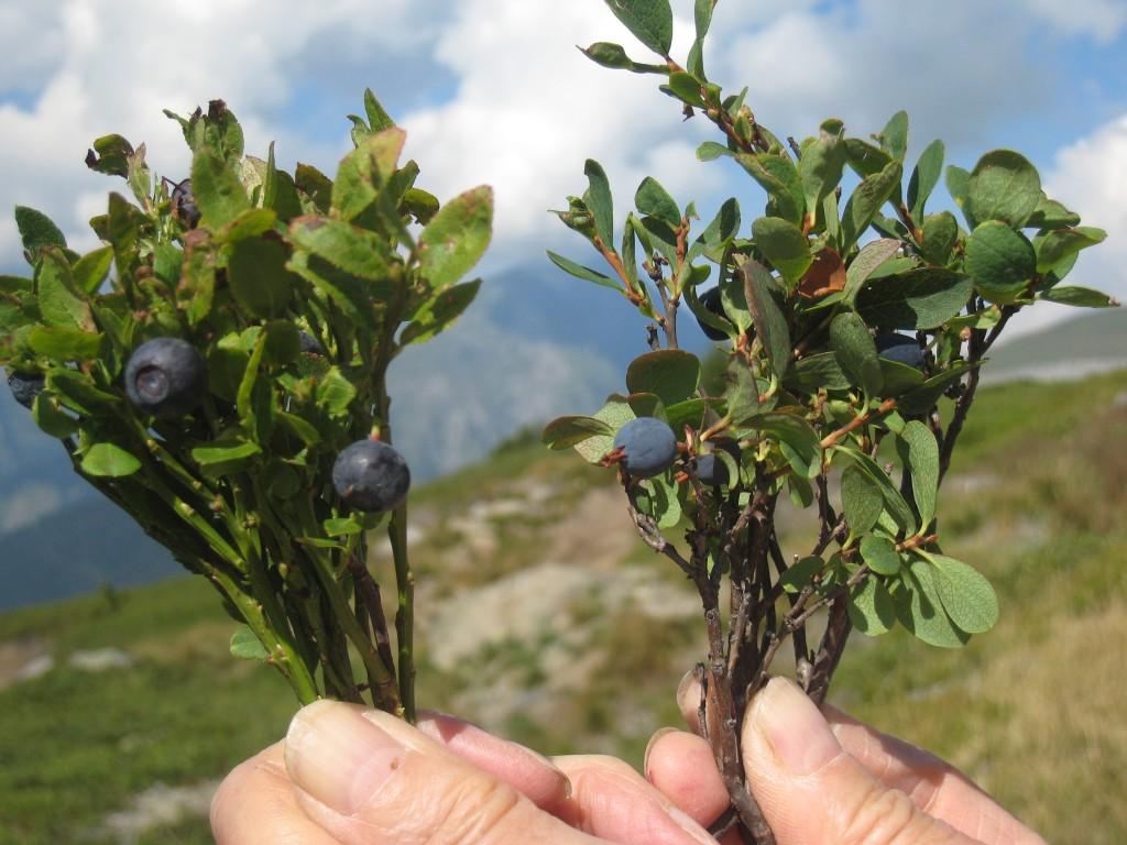les-deux-varietes-de-myrtilles
