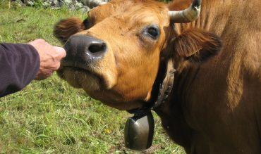 La robe de nos vaches