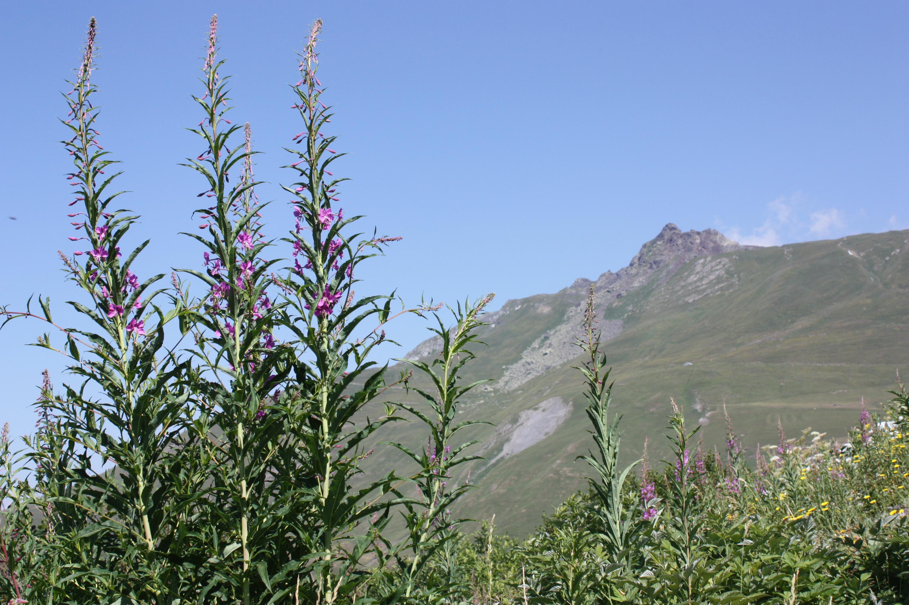 Flore d'altitude